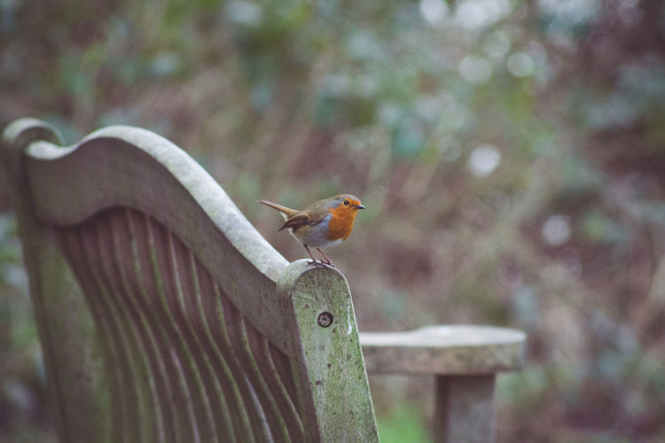 winter robin An Animal Animal Love Animal Photography Animal Themes Animal_collection Animals Animals In The Wild Ben Benches Bird Bird Photography Bird Watching Birds Birds In Flight Birds Of EyeEm  Birds_collection Birds_n_branches Birds🐦⛅ Birdwatching Robbins Robin Robinns Robins Winter