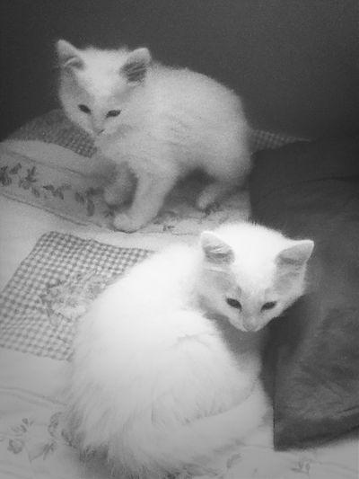 Kitten Capa Filter