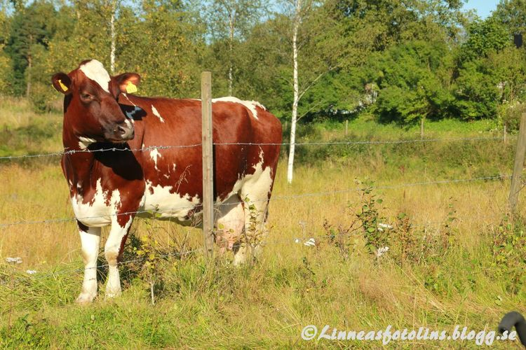 Life On A Farm Http://linneasfotolins.blogg.se Cow Summer