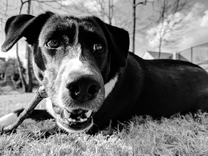 Molly with stick face... Bnw Bnw_collection EyeEm Best Shots EyeEm Best Shots - Black + White Blackandwhite Happiness Peace Quiet Moments Silence Solitude EyeEm Selects Dog Pets Domestic Animals One Animal Mammal Animal Themes Grass Outdoors Day No People The Portraitist - 2018 EyeEm Awards