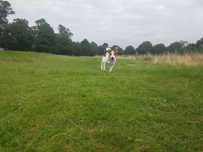 jack russel Grass Green Color Field Growth Tree Casual Clothing Rural Scene Sky Walking Full Length Nature Agriculture Plant Tranquility Day Grassy Cloud Outdoors Tranquil Scene Cultivated Land
