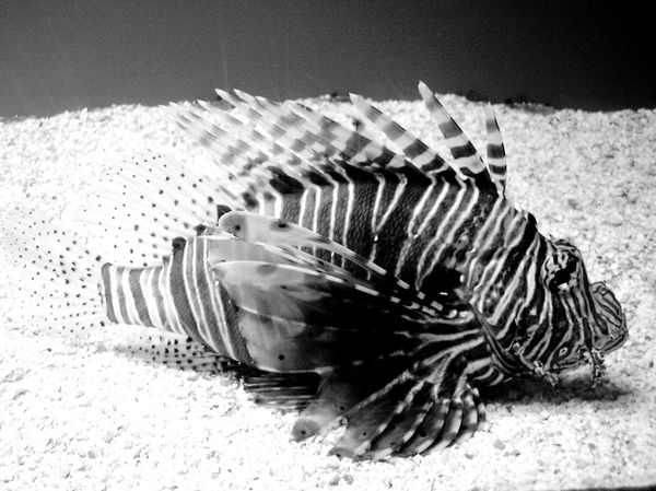 Black And White Collection  Black&white Black And White Blanco Y Negro Black & White Blackandwhite Photography Acuarium Finisterrae Blancoynegro Peces Pez León