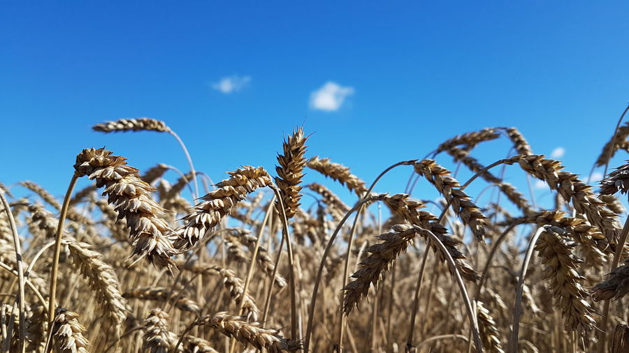Grain Grainfields Blue Sky Taking Pictures Agricultural Landleben Agriculture Photography