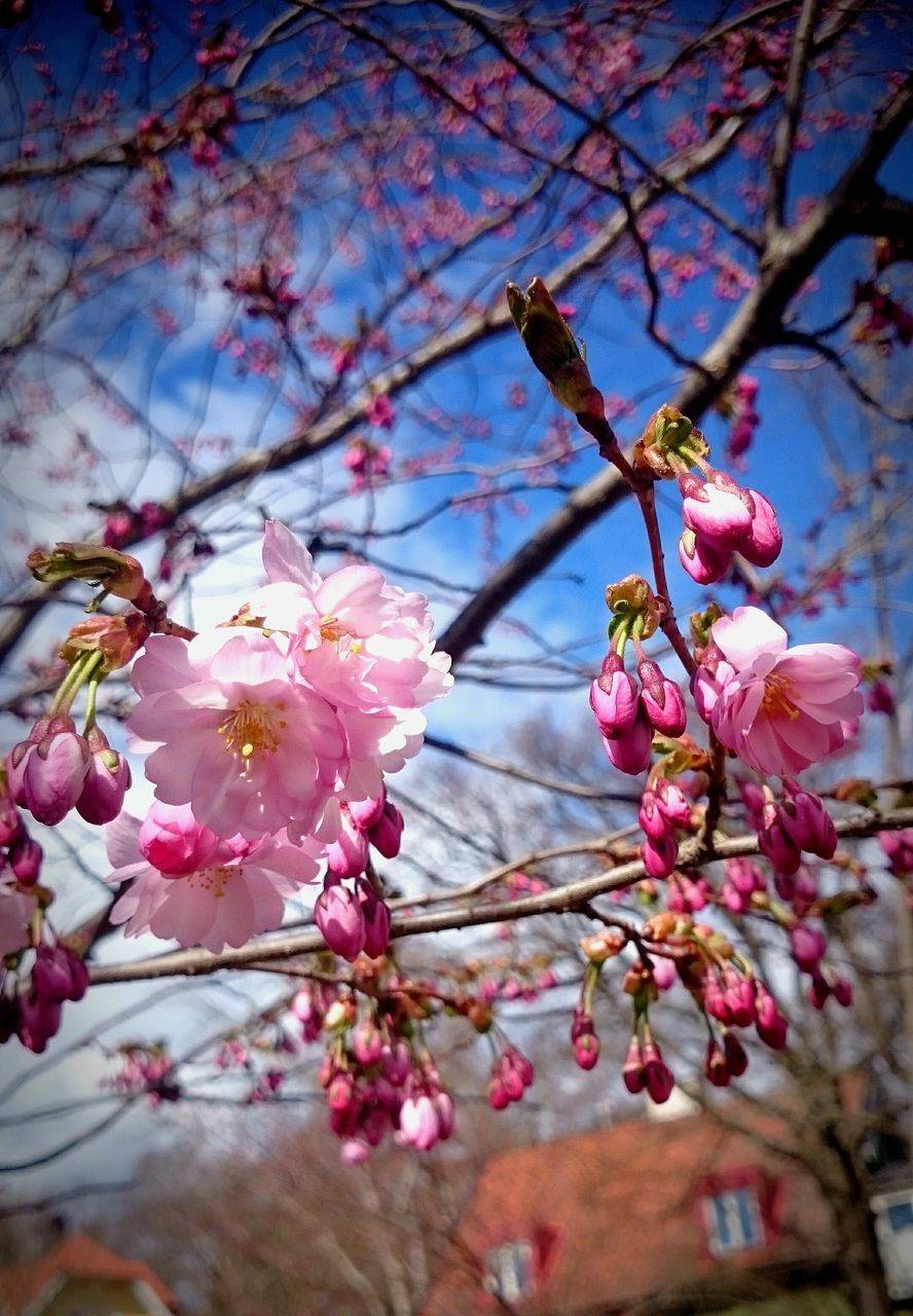 flower, beauty in nature, fragility, blossom, springtime, branch, tree, growth, cherry blossom, nature, pink color, freshness, petal, twig, botany, cherry tree, apple blossom, no people, plum blossom, low angle view, orchard, stamen, day, close-up, flower head, selective focus, outdoors, pollen, blooming, sky