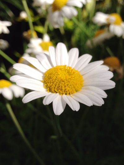 Flower Freshness Petal Flower Head Fragility Daisy Close-up Growth Beauty In Nature White Color White Stem Nature Pollen Springtime In Bloom Plant Yellow Single Flower Blossom
