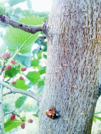 Little life, accidentally got into my frame. Ladybug Nature Beauty In Nature Tree Mulberry Mulberry Tree Nature_collection Nature Photography Beauty In Small Things EyeEm Nature Lover