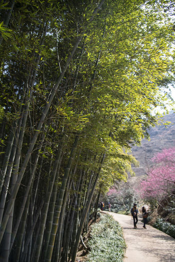 bamboo forest at Gwangyang Cheongmaesil Maeul in Jeonnam, South Korea Bamboo Gwangyang Plant Tree Nature Day Growth Outdoors Walking Two People Men Footpath Forest People Togetherness Adult Land Direction Real People Beauty In Nature Rear View Women Couple - Relationship