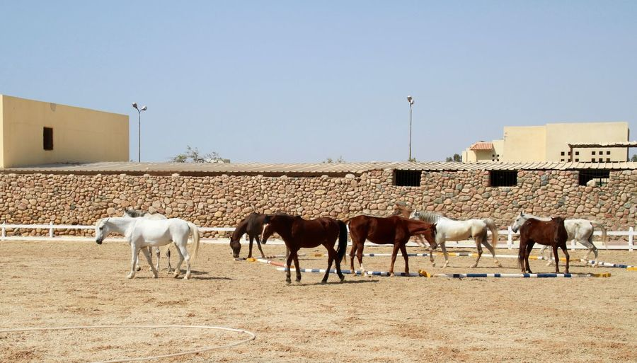 Arabian Horse Horses Large Group Of Animals Livestock No People Outdoors Ranch Summer Taurus