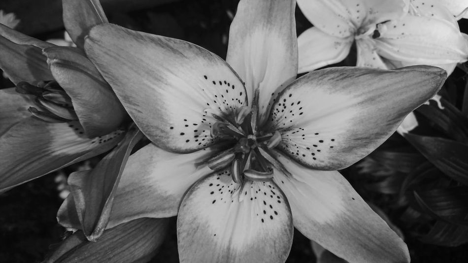 Colourless lily Black & White Black And White Photography Sony XZ Flower Head Flower Petal Close-up Plant Lily Day Lily Blooming In Bloom Plant Life Blossom Pollen Botany Single Flower