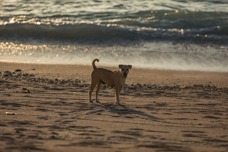 Stray dog at the beach of Nusa Lembongan. Animal Beach Bokeh Dog No People Sand Sea Sunset Water Waves