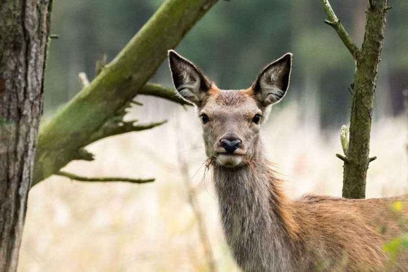 Baltic Sea Mecklenburg-Vorpommern Animal Animal Head  Animal Themes Animal Wildlife Animals In The Wild Close-up Darß Day Deer Deer Moments Deer Portrait Fawn Focus On Foreground Herbivorous Looking At Camera Mammal Nature No People One Animal Outdoors Plant Portrait Standing Tree Vertebrate