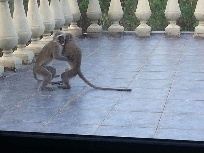 Monkey Love Doing Some Dancing Waiting For Food On My Back Balcony From My Point Of View No People South Africa Beauty Of Nature Monkey Collection