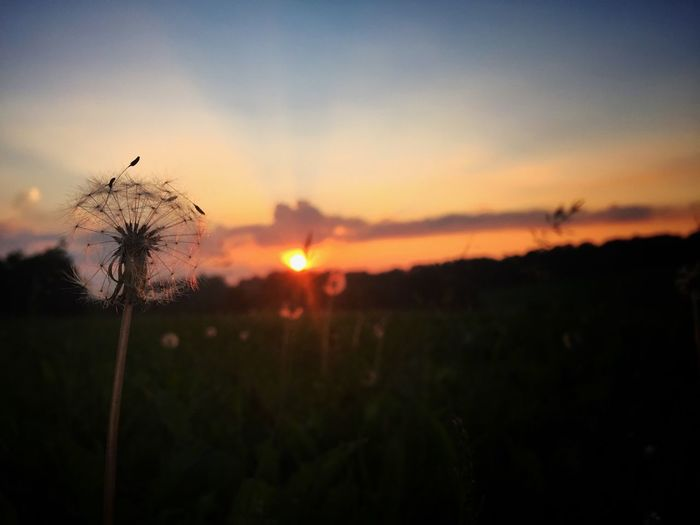 Sunset Dandelion Wish Summer