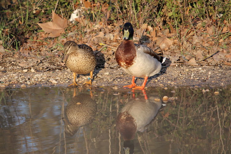 Canards Canne Reflets Bird Animals In The Wild Animal Themes Water Reflection Animal Wildlife Lake Nature Outdoors
