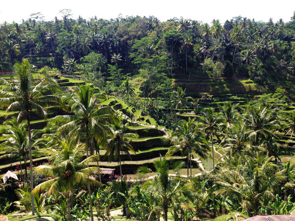 Bali INDONESIA Island Life Rice Rice Paddy Tegallalang Rice Terraces Travel Traveling Wanderlust Agriculture Banana Tree Beauty In Nature Day Explore Growth Leaf Nature No People Outdoors Palm Tree Plant Rice Terraces Tegalalang Tranquility Travel Destinations Tree Ubud