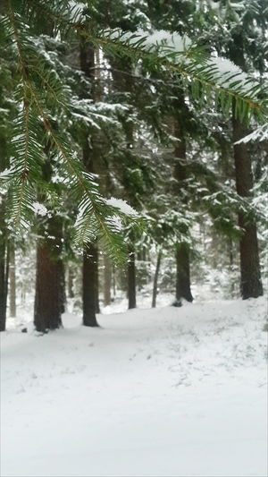 Winter Jalkala Forest Snow Beauty In Nature VSCO November Tree Outdoors Holiday Landscape Snowing Pine Ownphotos