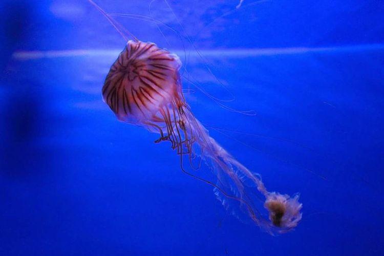 Underwater Jellyfish Sea Life Blue Tentacle Acquario Di Genova Acquarium Medusa