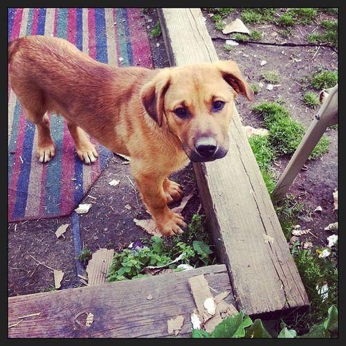 Puppy Pitbull Germanshepherd Mixedbreed mixed mutt skankdog cute