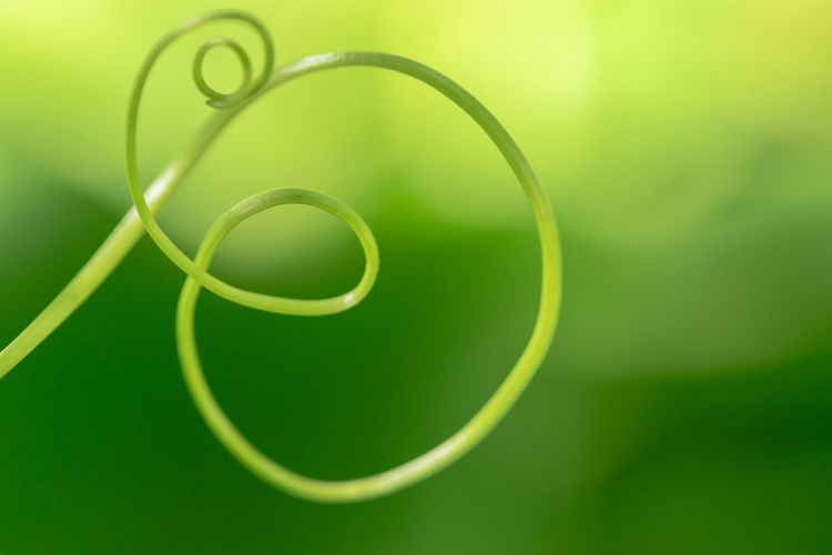 Close-up of vine tendril