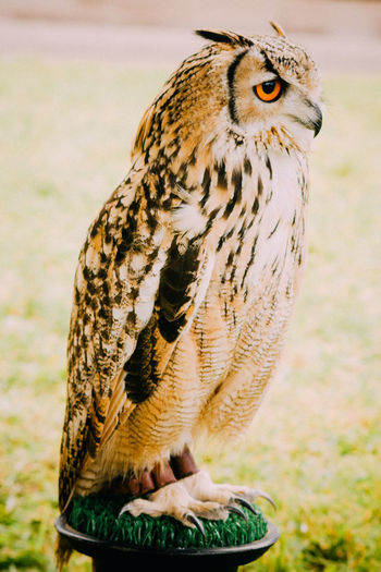Close-Up Of Eurasian Eagle Owl Perching Outdoors
