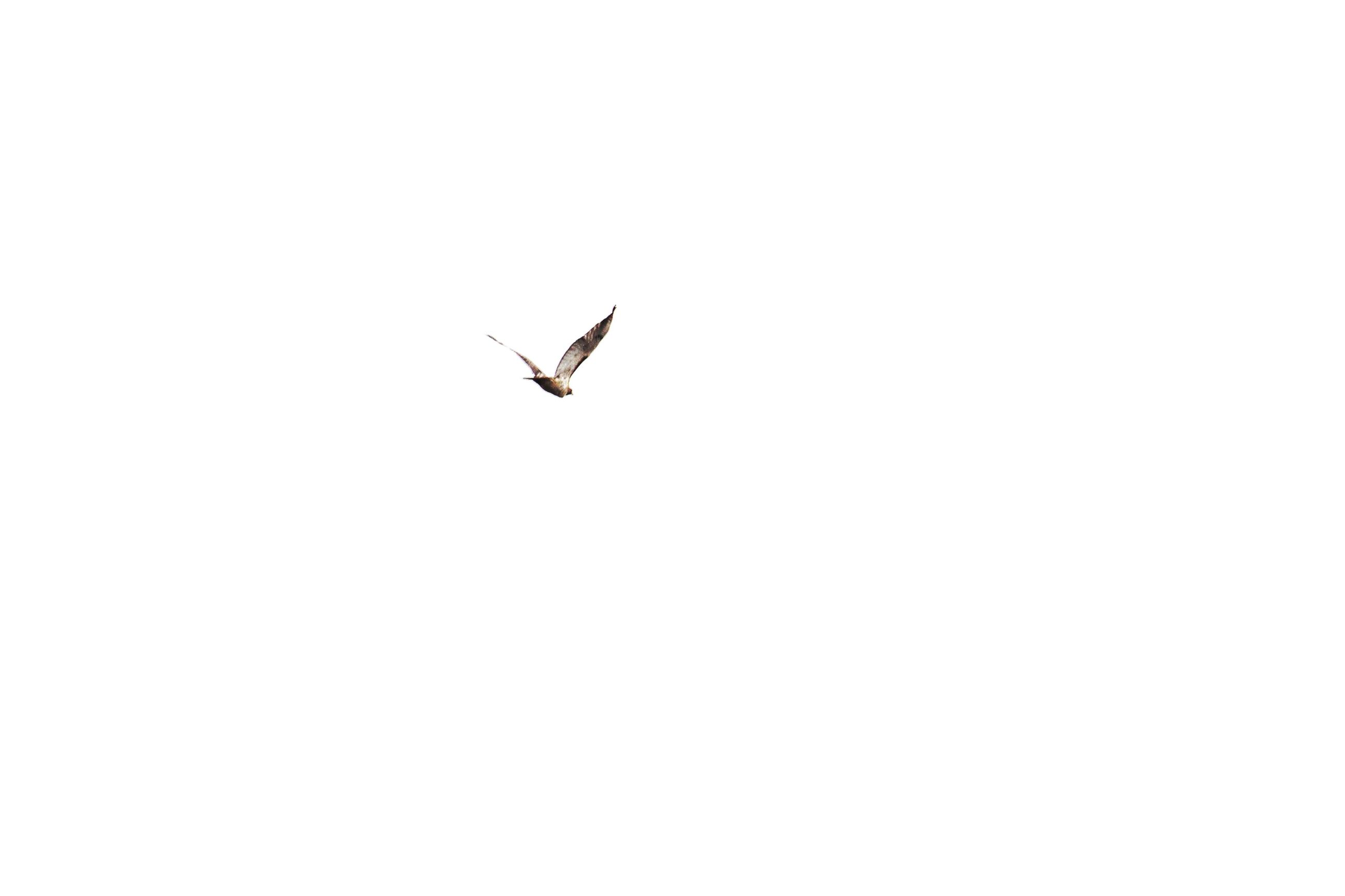 flying, one animal, mid-air, animals in the wild, animal themes, clear sky, spread wings, day, no people, outdoors