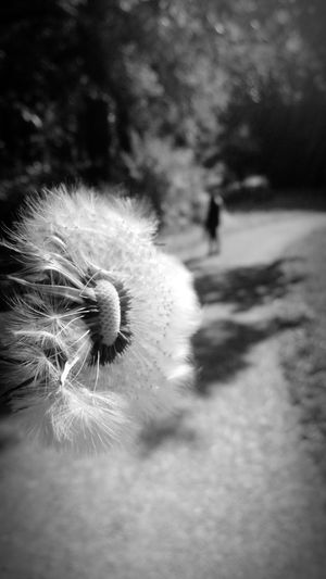 Softness Nature Freshness Flower Growth No People Flower Head Day Plant Beauty In Nature Outdoors Fragility Dandelion