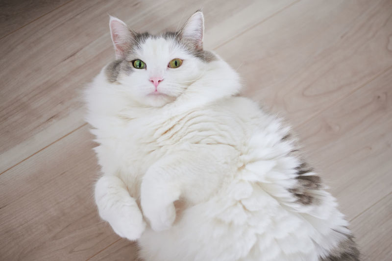 High angle portrait of white cat on floor