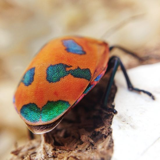 Cotton Harlequin Bug. iPhone 5 and Olloclip Macro Lens. Bugs Beetle Olloclipmacro Macro
