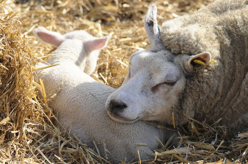 Ewe & Lamb resting Animal Family Early Spring 2016 Lamb Lambing Season Sheep Togetherness Two Animals Young Animal