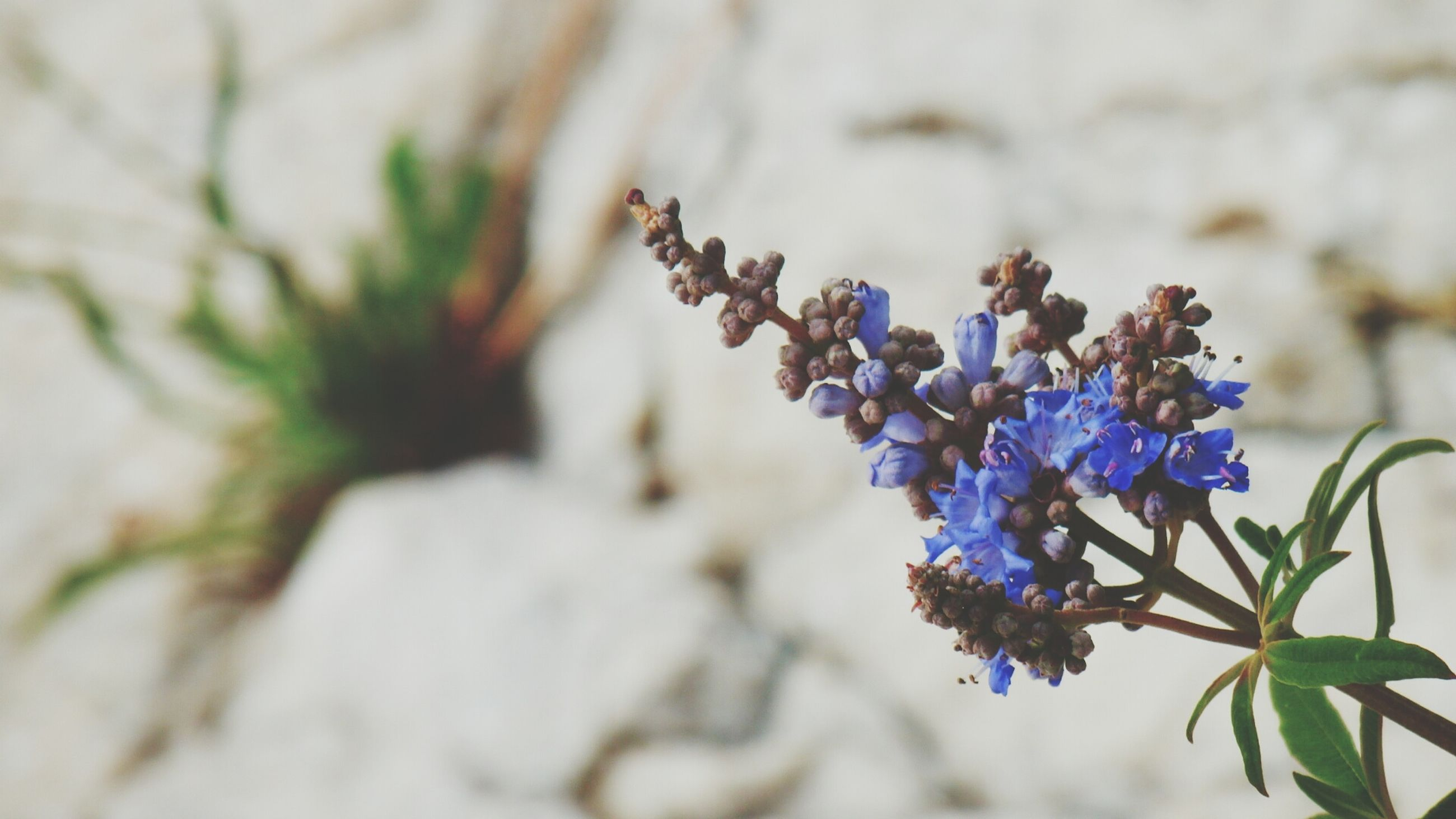 growth, flower, freshness, close-up, plant, focus on foreground, fragility, purple, nature, selective focus, leaf, beauty in nature, blue, bud, stem, day, petal, new life, blooming, outdoors