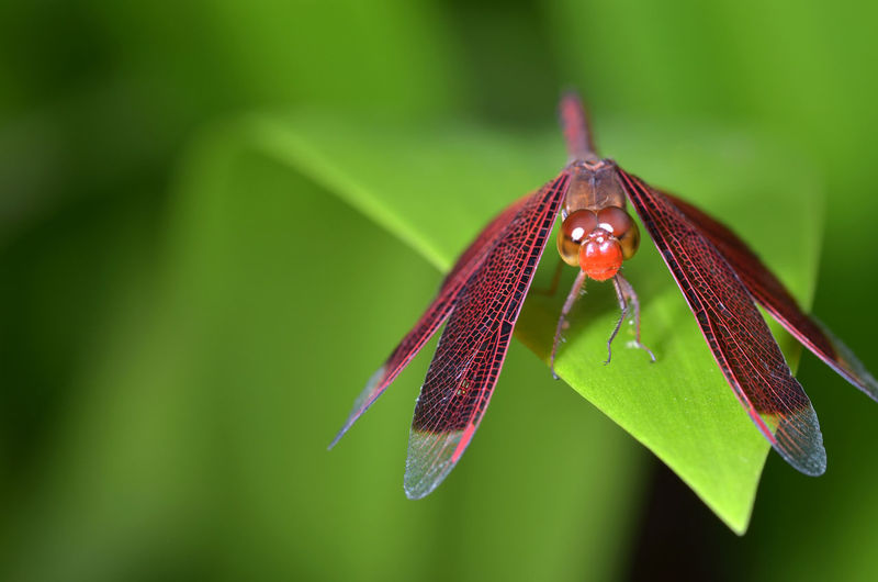 Common Scarlet darter dragonfly Crocothemis Erythraea Dragonfly EyeEm Nature Lover Red Scarlet Wing Animal Themes Animal Wildlife Animals In The Wild Anisoptera Close-up Common Darter Day Eye Green Color Insect Leaf Macro Nature No People Odonata One Animal Outdoors Rest