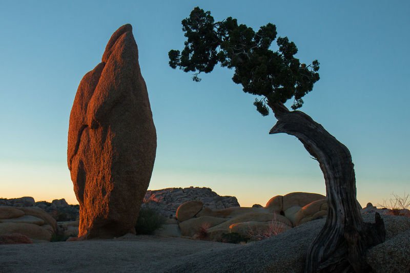 Joshua Tree National Park Orange Rock Soft Light Tree Blue Sky First Light Of The Day Pillar Rough Silhoutte Sunrise Upright