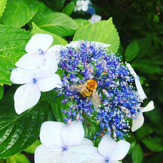 Purple Flower One Animal Beauty In Nature Flower Head あじさい 蜂も寄って来た