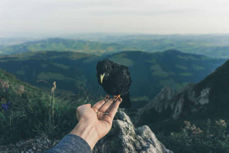 Close-up of hand holding crow against mountain range