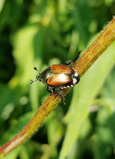 Insect One Animal Animals In The Wild Animal Wildlife Close-up No People Animal Themes Nature Outdoors Green Color Day Leaf Plant Fragility Stem June Beetle June Bug Full Length The Week On EyeEm Lost In The Landscape