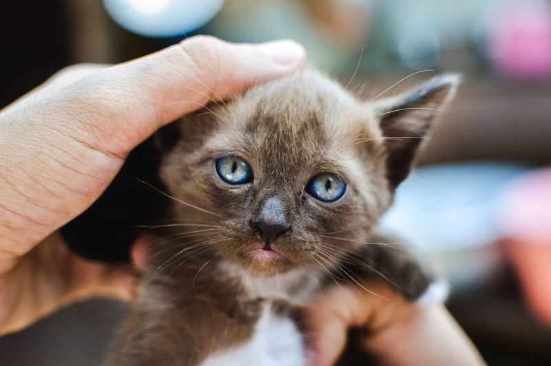 Domestic Human Hand Cat One Animal Hand Domestic Animals Domestic Cat Human Body Part Mammal Close-up Vertebrate Care Pet Owner Body Part One Person Pets Backgrounds Thailand