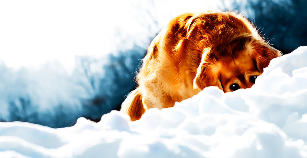 Animal Body Part Animal Hair Animal Head  Beauty In Nature Day Dog Eye Eyes Eyes Watching You Golden Golden Retriever Goldenretriever Hide Hunt Hunting Nature No People Outdoors Sky Snow Watching The Great Outdoors - 2016 EyeEm Awards