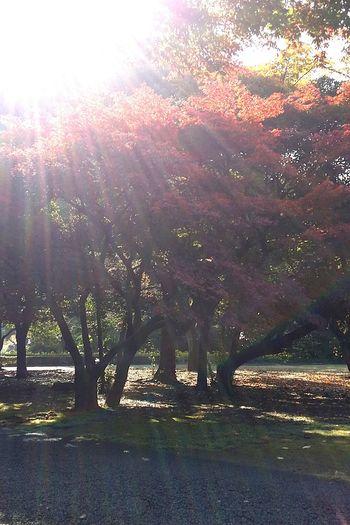 Maple. Autumnmaple Tokyoautumn Tokyoautumn2016 Tokyonature Tokyopark TokyoNov2016 Shinjuku Gyoen National Garden Shinjukugyoennationalgardenautumn2016 Japan