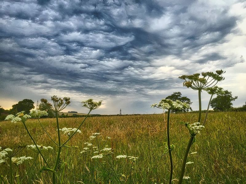 Agriculture Beauty In Nature Cloud - Sky Cow Parsley Day Dramatic Sky Field Field Flower Growth Landscape Mackeral Clouds Nature No People Outdoors Pastoral Plant Rural Scene Scenics Single Tree Sky Storm Cloud Tranquil Scene Tranquility Tree