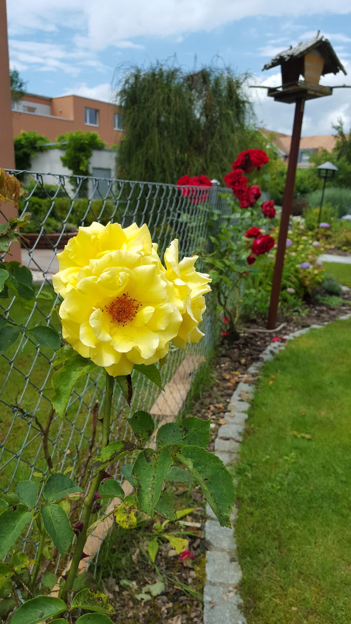 flower, yellow, growth, plant, freshness, fragility, nature, petal, outdoors, no people, beauty in nature, built structure, architecture, building exterior, day, blooming, flower head, green color, sky, close-up