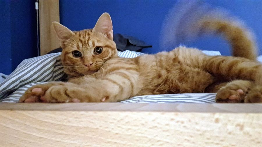 Hi, i'm Maggie Cat Lovers Red Cat Cute Pets Cute Close Up Animal Portrait Animal Blue Wall Relaxing Cat Pets Portrait Feline Domestic Cat Bed Looking At Camera Home Interior Relaxation Close-up Cat Whisker Home Ginger Cat Kitten Domestic Animals At Home