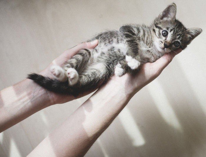 holding a beautiful baby At Home Brown Cat  Cat Domestic Animals Domestic Cat Feline Grey Cat Holding Indoors  Kitten Kitty Mammal No People One Animal Pets Selective Focus Whisker Zoology