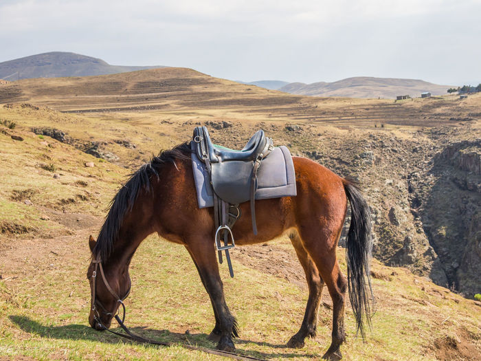 Side view of basotho horse on field against mountain, lesotho, africa