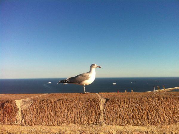 Barcelona Seagull Sea Bird