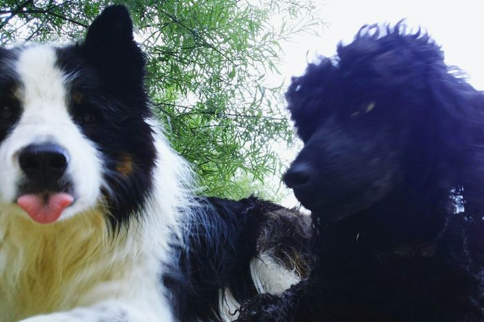 Border Collie Poodle🐩 Best Friends For Life  Summer Memories 🌄 Outdoors Posey.✌️ Wierdoozzz❤ Lovethem💕