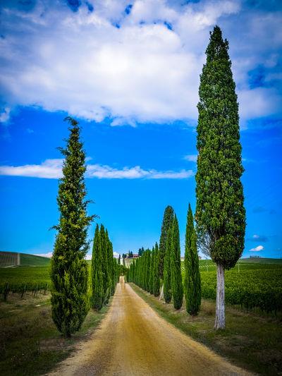 Allee Cypress Toskana Cypress Trees  Toskana,italy Zypressen Zypressenallee