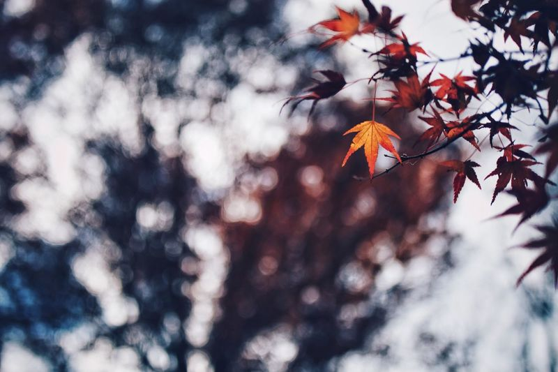 Nature Light And Shadow Streetphotography Snap Bokeh Vscocam Japanese  Japan Tree Autumn Branch Change Plant Leaf Plant Part