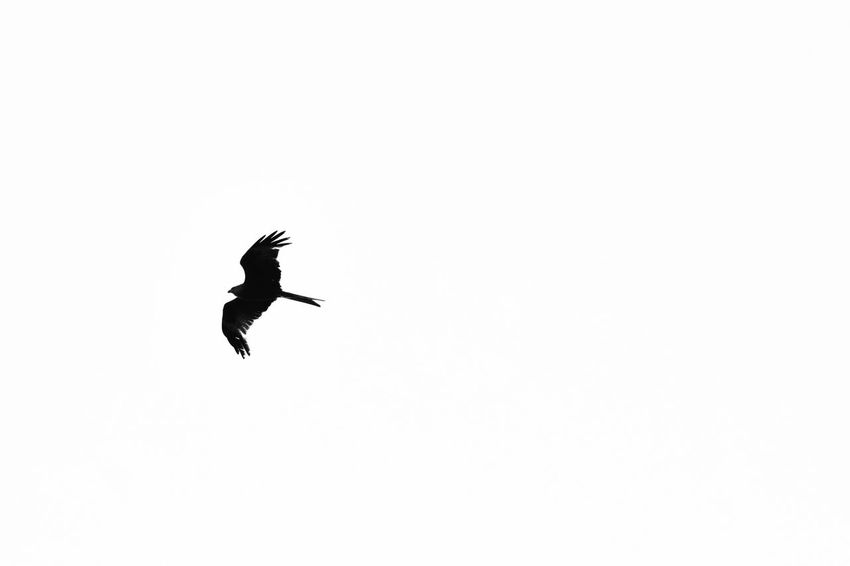 silhouette of a buzzard in flight Animal Themes Animal Wildlife Animals In The Wild Bird Bird Of Prey Buzzard  Buzzard In Flight Clear Sky Copy Space Day Flying Full Length Low Angle View Mid-air Nature No People One Animal Outdoors Spread Wings