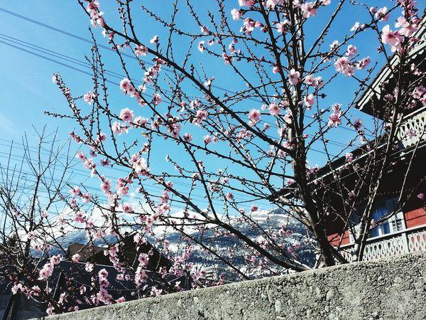Open Edit Enjoying Life Hello World Eyeemcitys I Love Switzerland !!! EyeEm Best Shots - Nature Enjoying The View Mountains And Sky Springtime Spring Flowers