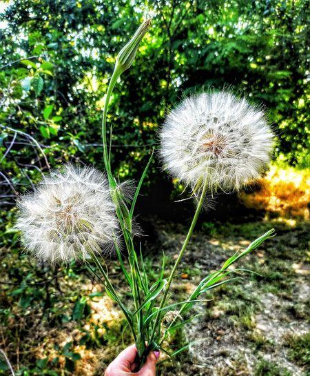 Close-up of dandelion on land